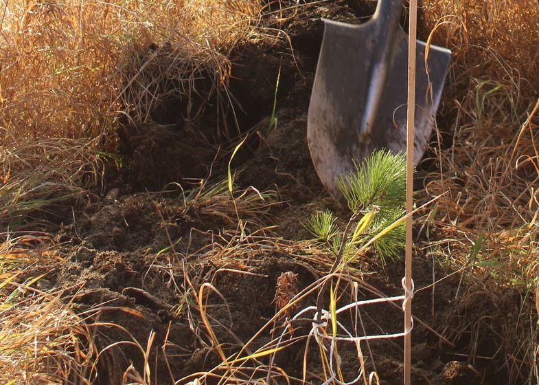 В столице Таймыра высадили саженцы кедра