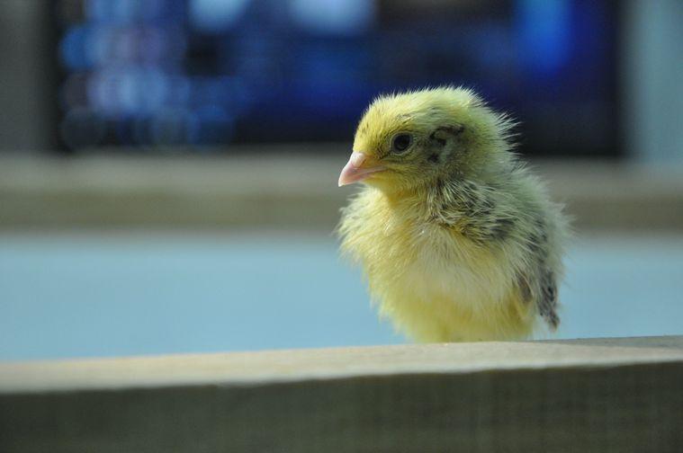 В норильском фаблабе вылупилось 25 птенцов