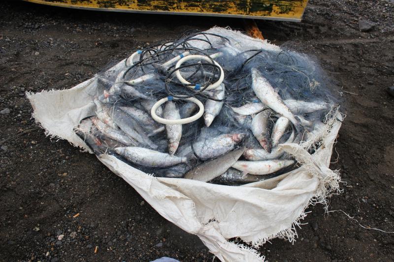 200 штук омуля незаконно выловил рыбак в Енисее
