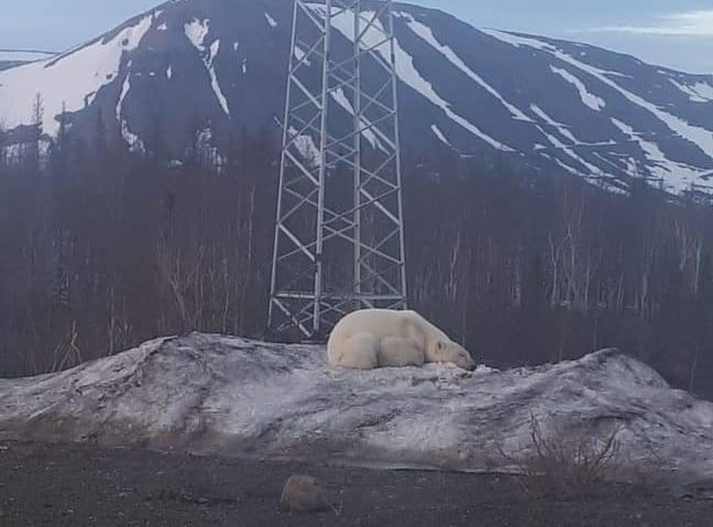 В окрестностях Норильска бродит белый медведь