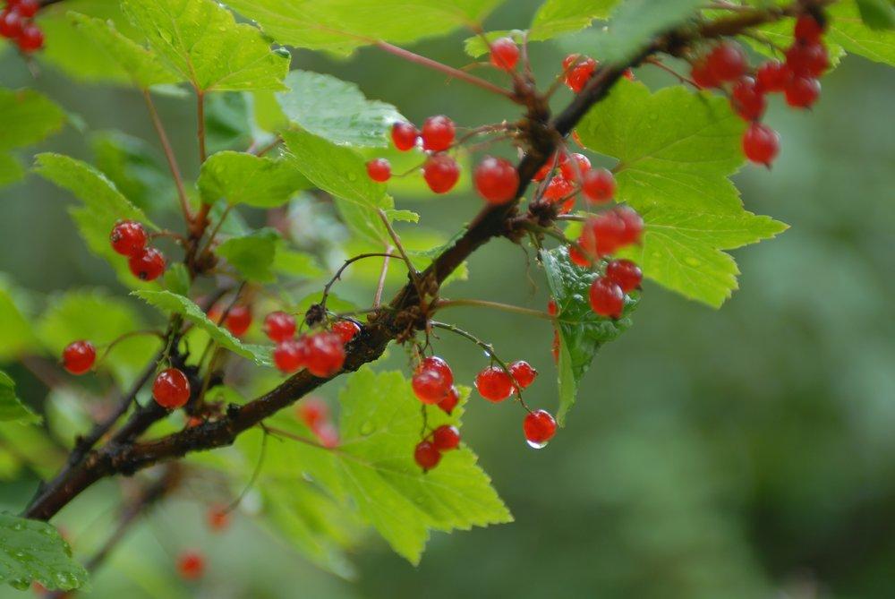 Фестиваль северной ягоды в Норильске продолжается