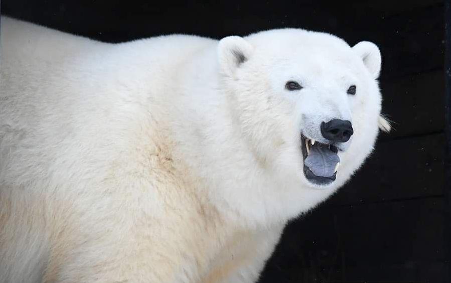 Белая медведица Марфа из «Роева ручья» набрала вес и отмылась