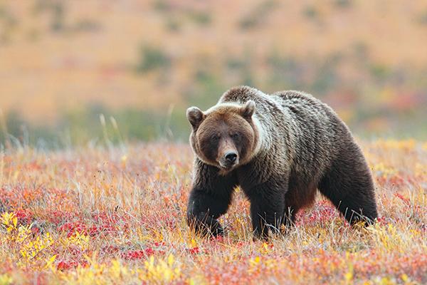 Норильчан предупреждают о возможности встречи с дикими животными в тундре