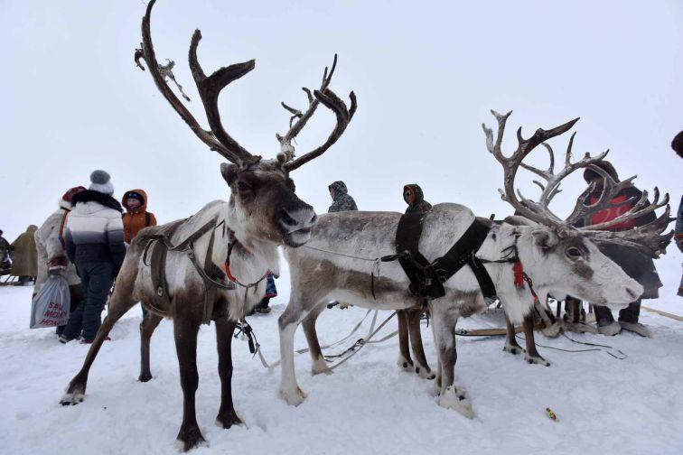 Минэкологии продолжает работу по сохранению популяции дикого северного оленя