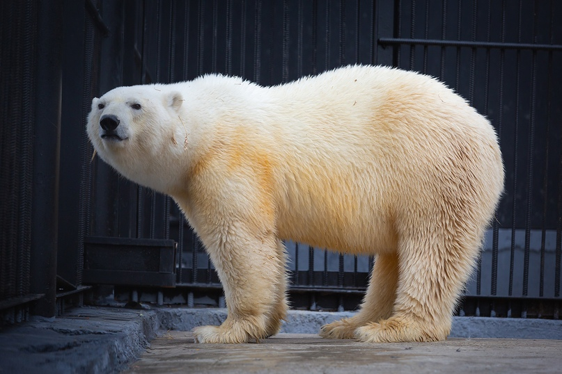 Белой медведице, спасенной в Норильске, выбирают имя