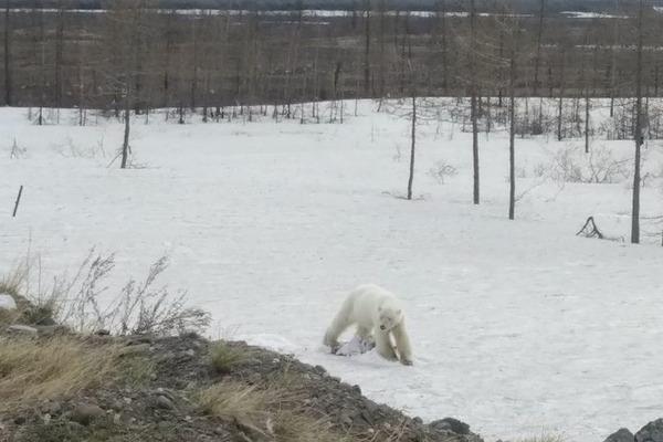 Белого медведя в окрестностях Норильска поймали и посадили в клетку
