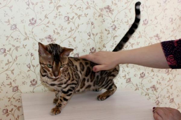Норильчанка едва не лишилась породистой кошки