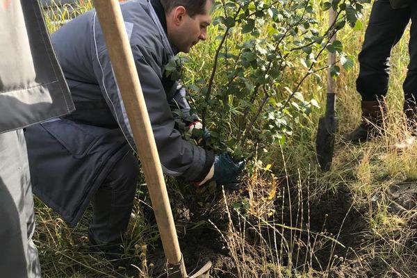 На городских газонах работники «Норникеля» высадили 1800 кустарников