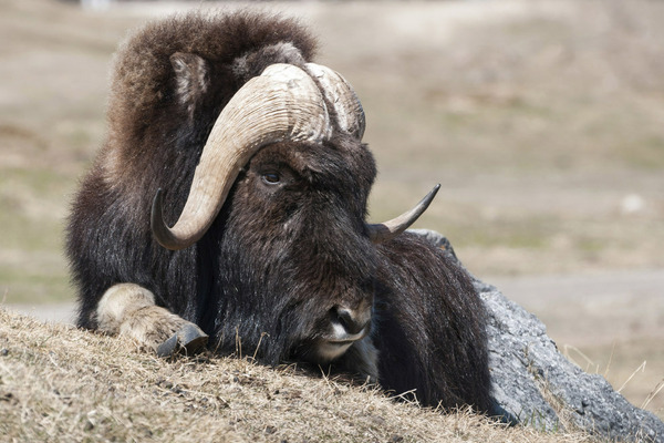 В отдаленной перспективе на Таймыре может возникнуть многотысячная популяция овцебыков