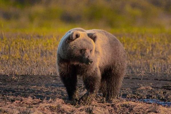 В Норильске медведь опять украл еду у туристов