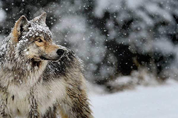 Волка заметили в Центральном районе Норильска