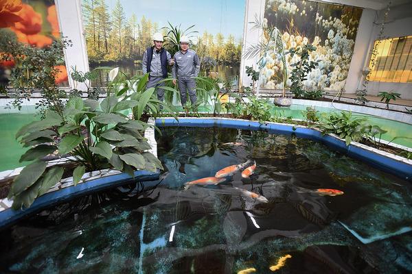 На Талнахской обогатительной фабрике теперь обитают карпы, золотые рыбки и рыбы-телескопы