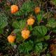 Ученые рассказали, где искать самую полезную северную ягоду