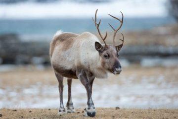 Почти 420 тыс. диких северных оленей таймырской популяции насчитали в крае