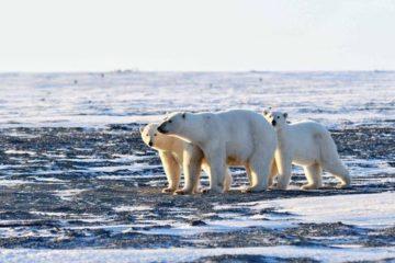 Российские ученые разрабатывают методику оценки экосистемы Арктики на основе данных о белых медведях