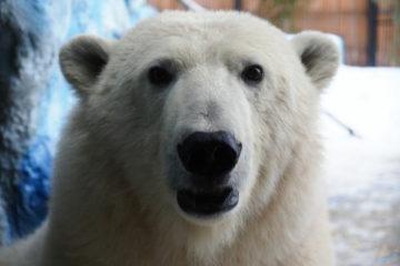 Медведица, которую авиакомпания NordStar перевезла в краевой центр, стала украшением парка «Роев ручей»
