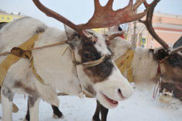 На Таймыре объявили конкурс на лучшее фото с оленем