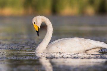 Лебеди в Норильске не гнездятся, а просто «тусуются»
