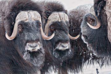 Таймырские овцебыки прижились в Магаданской области