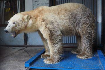 Белая медведица, спасенная в Норильске, медленно набирает вес в «Роевом ручье»