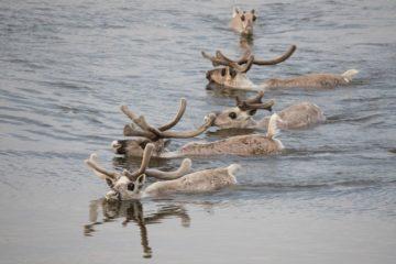 Охоту на северного оленя ученые предлагают закрыть на год