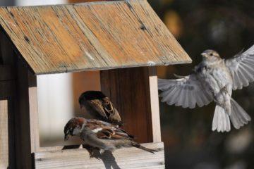 Городских птиц в Норильске становится больше