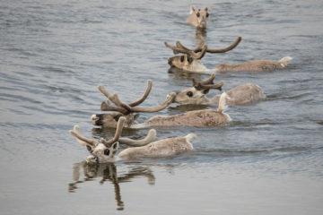 Популяция дикого северного оленя на Таймыре катастрофически сокращается