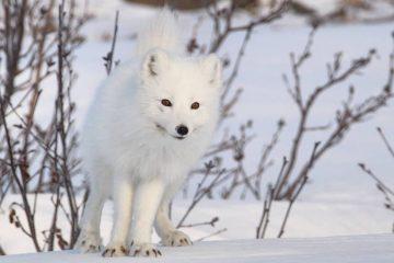 Полярная лисица стала героиней новостей