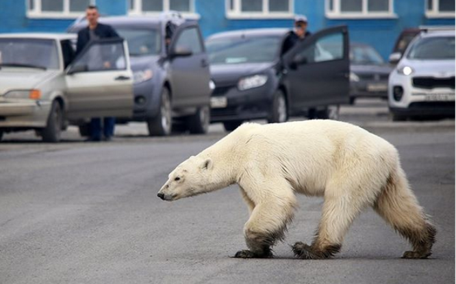 Снимок белой медведицы Марфы вошел в топ-100 фотографий года по версии Time