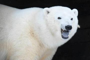 Медведица Марфа передаст видеопривет норильчанам