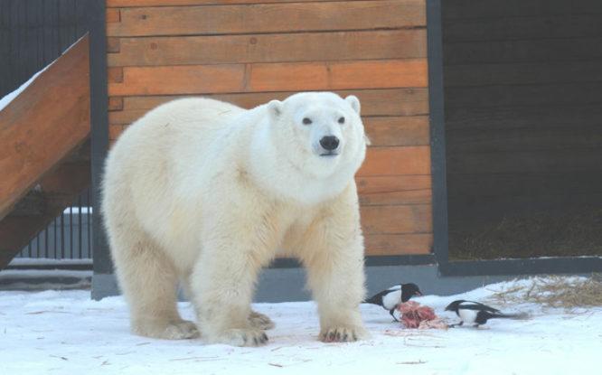 У медведицы Марфы, спасенной в Норильске, теперь больше шансов на личное счастье