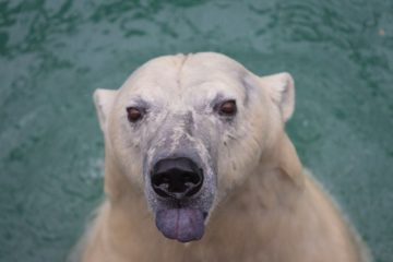 Медведица Аврора из «Роевого ручья» погибла от лап жениха