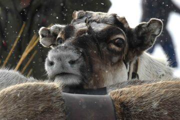 Поголовье домашних оленей на Таймыре увеличится на 50 тысяч телят в этом году