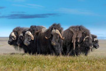 Как овцебыки из Канады попали на Таймыр