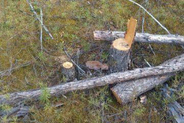 Инспекторы обнаружили вырубленные деревья на одной из баз озера Лама