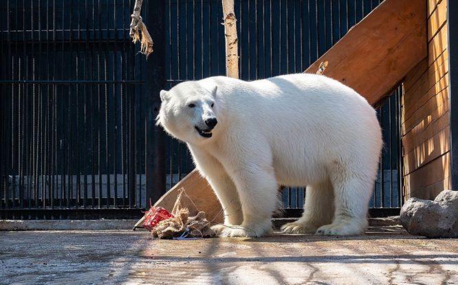 Норильская медведица Марфа празднует годовщину «второго рождения»