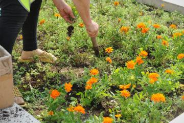 Норильчане рвут и выкапывают цветы с газонов