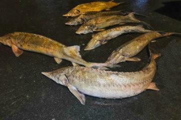 В Дудинке патрульные задержали браконьера с крупным уловом