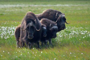 Потомки овцебыков с Таймыра поедут в Магадан