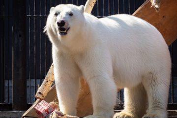 «Роев ручей» потратит 30 миллионов на украшение вольеров белых мишек