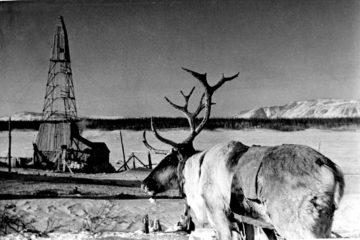 Коренные жители Таймыра приручили северного оленя сотни лет назад