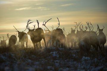 Северных оленей пора сосчитать