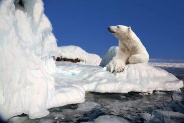 Как трещат арктические льды и скрипит снег под лапами полярного медведя?