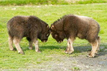 Ямальские овцебыки переедут на Таймыр