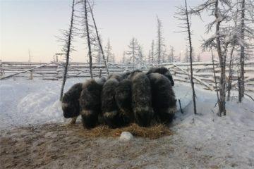 На ферме в Волочанке волки загрызли овцебычка