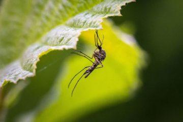Ученые рассказали, почему комары представляют проблему для животноводства