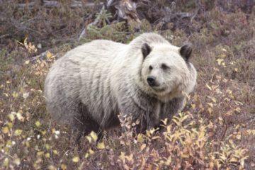На Севере появился гибрид гризли и полярного медведя