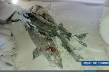 На Таймыре задержали очередного браконьера