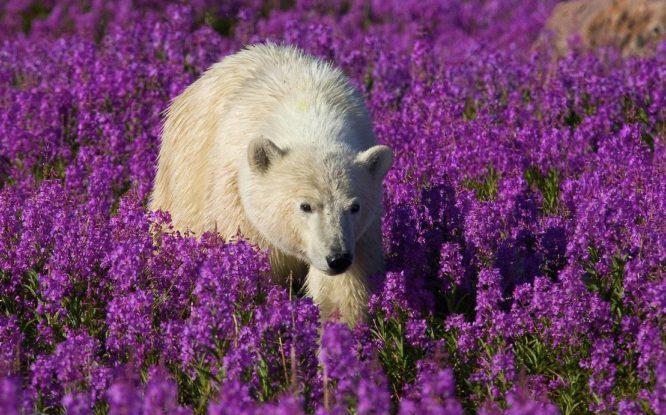Белые медведи стали чаще нападать на людей