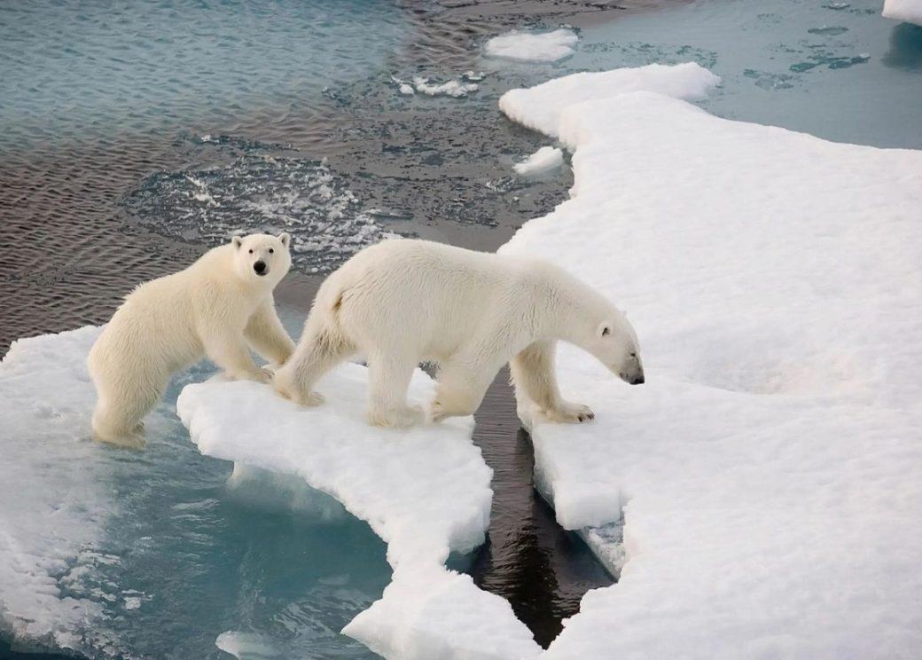 Норильчане могут выбрать имена двум полярным медведицам